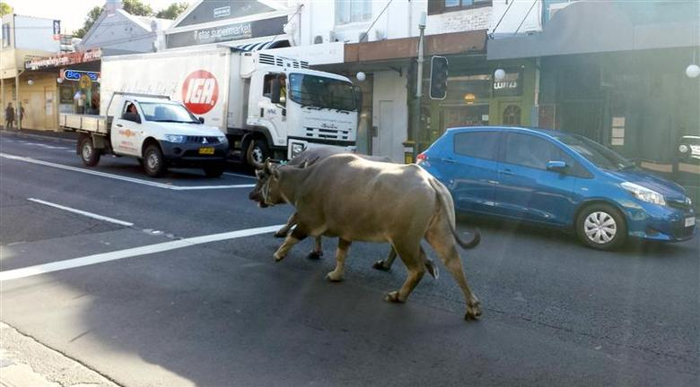 Drivers in cars and a truck watch two water buffaloes running down a main street in Sydney March 25, 2014. REUTERS/Abril Felman