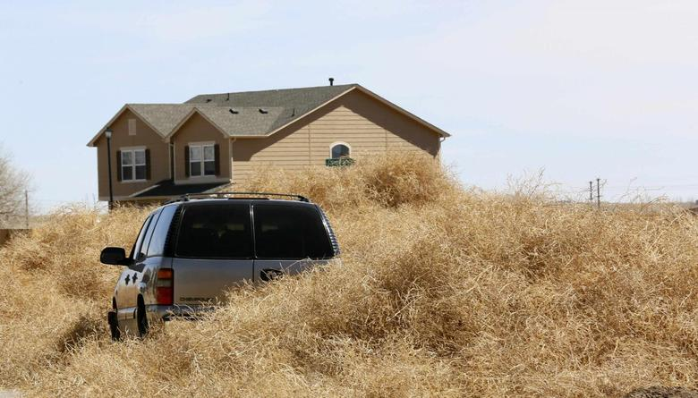 Tumbleweed surround a car in Fountain, Colorado March 20, 2104. REUTERS/Rick Wilking