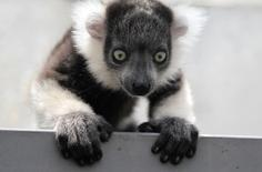 A black-and-white ruffed lemur (Varecia variegata) born in captivity a month ago is seen at the zoo in Cali March 14, 2011. REUTERS/Jaime Saldarriaga