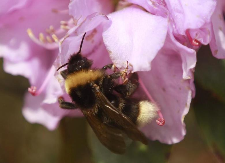 A bumble-bee sits on a rhododendron bloom on a sunny spring day in Dortmund March 28, 2012. REUTERS/Ina Fassbender