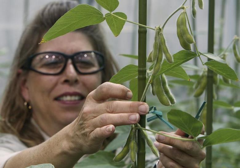 Soybean Plant Specialist ties up a soybean stalk in the soybean greenhouse at the Monsanto Research facility in Chesterfield, Missouri October 9, 2009. REUTERS/Peter Newcomb