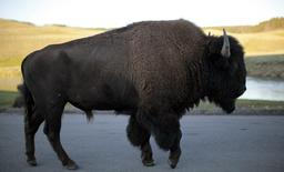 A bison walks in Yellowstone National Park, Wyoming August 10, 2011. Picture taken August 10, 2011. REUTERS/Lucy Nicholson