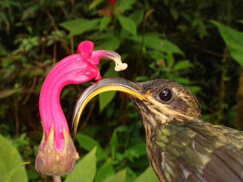 The Buff-tailed Sicklebill (Eutoxeres condamini), a Hermit hummingbird with a magnificently recurved bill, along with one of the flowers to which they are specialized, is shown in this image released on April 3, 2014. REUTERS/Christopher Witt/University of New Mexico/Handout via Reuters