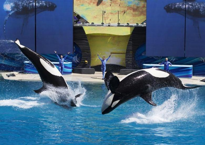 Trainers have Orca killer whales perform for the crowd during a show at the animal theme park SeaWorld in San Diego, California March 19, 2014. REUTERS/Mike Blake
