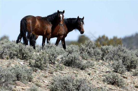 Two of a band of wild horses graze in the Nephi Wash area outside Enterprise, Utah, April 10, 2014. REUTERS-Jim Urquhart