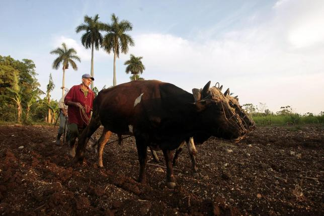 A farmer plows the land with two oxen in La Lisa on the outskirts of Havana March 28, 2014. REUTERS/Jorge Luis Banos