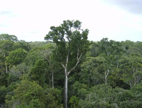 Old-growth Amazon tree canopy is seen in Tapajos National Forest, Brazil in this undated NASA handout photo released March 18, 2014. REUTERS/NASA/JPL-Caltech/Handout