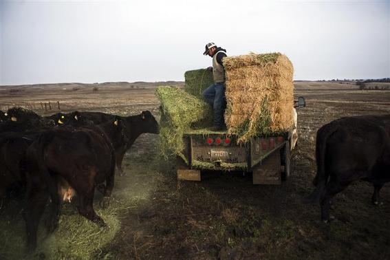 Ranch hand Ricardo Madrigal feeds cattle on the Van Vleck Ranch in Rancho Murieta, California, in this February 12, 2014 file photo. REUTERS-Max Whittaker-Files