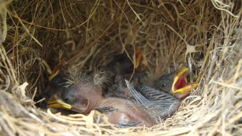 Darwin's finch nestlings are pictured in this undated handout photo.  REUTERS/Sarah A. Knutie/Handout