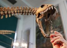 """Científicos revelaron el martes estimaciones de peso corporal para 426 especies diferentes de dinosaurios, usando una fórmula basada en el espesor de los huesos de las patas, y coronaron al inmenso argentinosaurio como el más grande de todos. En la imagen, el paleontólogo Fernando Novas toca la mandíbula de una réplica de """"Tuarangisaurus Cabazai"""" hecha de espuma de poliuterano en el Museo de Ciencias Naturales de Argentina en Buenos Aires el 1 de julio del 2013. REUTERS/Enrique Marcarian."""