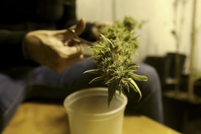 A marijuana home grower works on a marijuana flower in Montevideo in this March 7, 2014. REUTERS/Andres Stapff