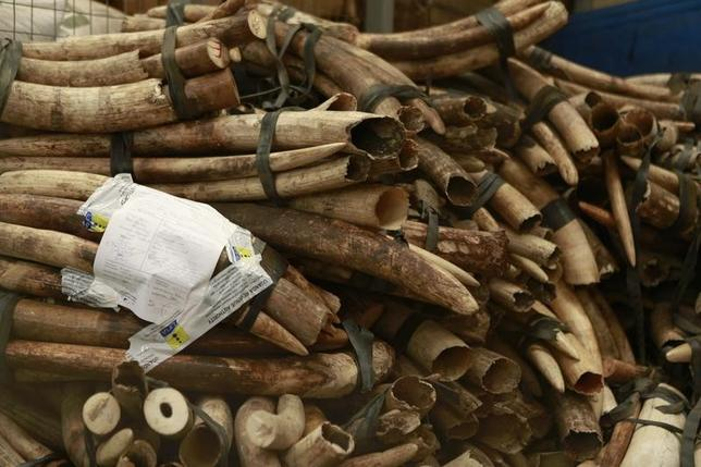 A pile of around 832 pieces of ivory weighing 2903kg (6400 pounds), which was seized by Ugandan officials, lays in a storage facility at the revenues authority headquarters in Kampala October 18, 2013. REUTERS/James Akena