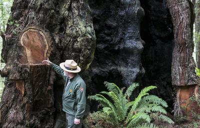 Saving California's redwoods