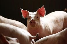 Свиньи в свинарнике под Варшавой 10 апреля 2014 года. Европейский союз инициирует разбирательство в рамках Всемирной торговой организации по поводу запрета на ввоз свинины из ЕС в Россию, отчаявшись урегулировать проблему дипломатическими методами на фоне украинского кризиса. REUTERS/Kacper Pempel