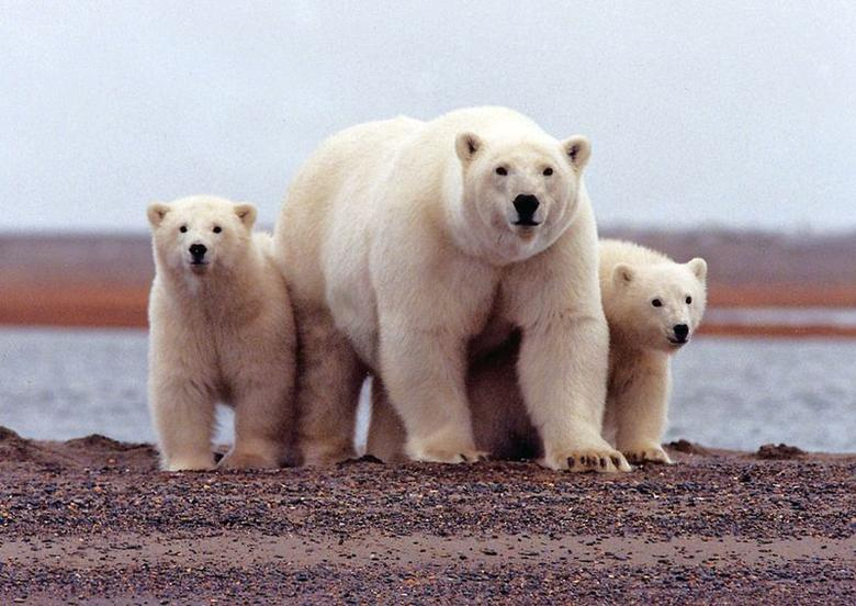 A polar bear keeps close to her young along the Beaufort Sea coast in Arctic National Wildlife Refuge, Alaska in a March 6, 2007 file photo. REUTERS/Susanne Miller/USFWS/handout