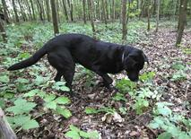 Istvan Bagi's dog Mokka, a six-year-old Labrador, searches for truffles in a forest near Jaszivany, east of Budapest August 6, 2014.   REUTERS/Bernadett Szabo
