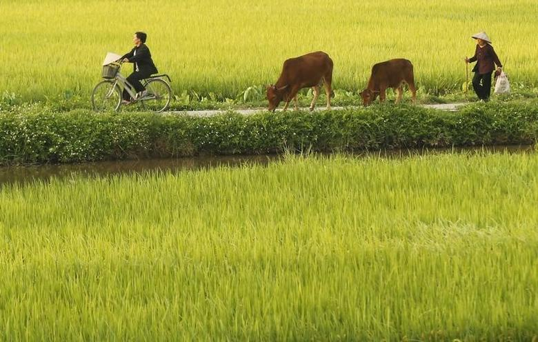 A woman rides a bicycle as a farmer tends his cows near a rice paddy field outside Hanoi June 8, 2011.  REUTERS/Kham