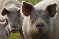 Свиньи в поле во Франции, близ Сен-Назера. 16 марта 2012 года. Российская ветеринарная служба отменила эмбарго на импорт французских свиней, ливера и жира, введенное год назад после вспышки африканской чумы свиней в восточной части ЕС, сообщило французское министерство сельского хозяйства. REUTERS/Stephane Mahe