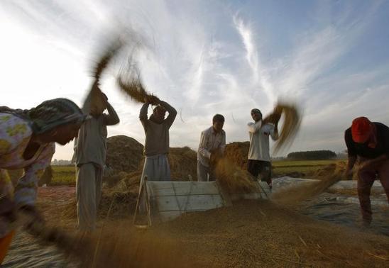 Kashmiri farmers thrash paddy crop in Srinagar October 22, 2013. REUTERS/Danish Ismail/Files