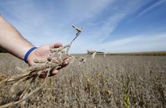 El sojero Ryan Roberts revisa su cosecha para saber si está lista para su cultivo en Minooka, EEUU, sep 24 2014. Informa Economics recortó su pronóstico de siembra de maíz en Estados Unidos este año a 88,537 millones de acres y el de soja a 87,485 millones de acres, dijo el viernes la consultora en una nota a clientes.   REUTERS/Jim Young