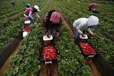 Fruit pickers harvest strawberries at a farm in San Quintin in Baja California state, Mexico April 1, 2015. REUTERS/Edgard Garrido