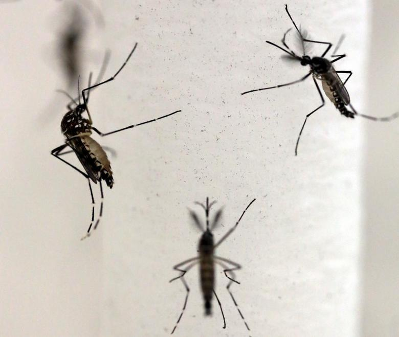 Aedes aegypti mosquitoes are seen inside Oxitec laboratory in Campinas, Brazil, February 2, 2016. REUTERS/Paulo Whitaker