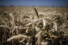 Un trigal en Los Banos, EEUU, mayo 5, 2015. Las existencias finales de trigo y maíz en Estados Unidos serán mayores a lo esperado al final del 2015/16 debido a recortes a una ya frágil demanda por los suministros estadounidenses en el mercado de exportaciones, dijo el martes el Gobierno. REUTERS/Lucy Nicholson