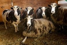 Jacob Sheep are shown in this handout photo provided by the Friends of Jacob Sheep in Abottsford, British Columbia, March 1, 2016. Picture taken March 1, 2016.  REUTERS/Pat Tessier/Friends of Jacob Sheep/Handout via Reuters