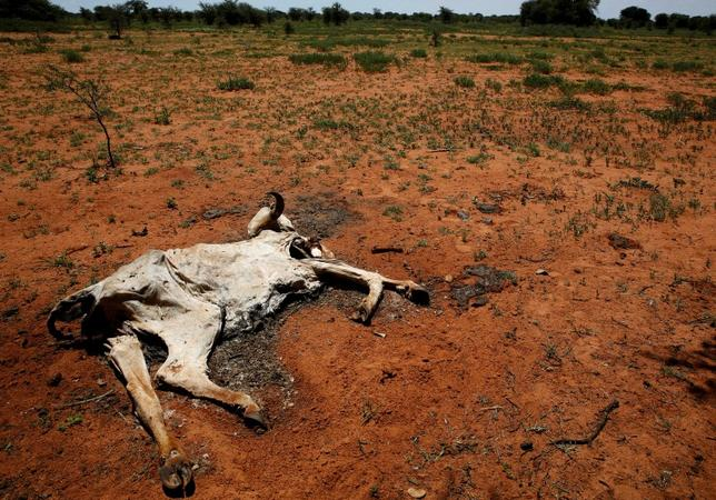 The carcass of a cow lies in a field in Disaneng village outside Mafikeng, South Africa, January 28, 2016. REUTERS/Sydney Seshibedi