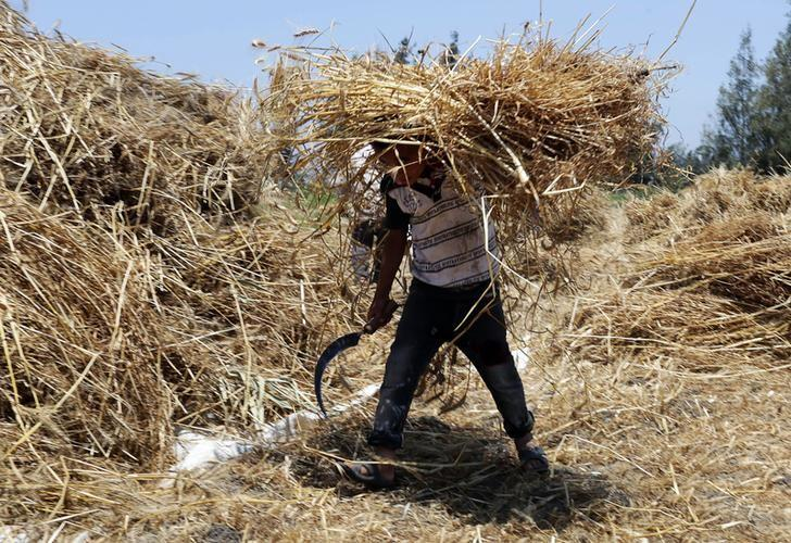A boy carries grain stocks to a threshing machine during a wheat crop harvest in 6 October village in the Nile Delta province of Al-Baheira, northwest of Cairo May 22, 2014. REUTERS/Asmaa Waguih