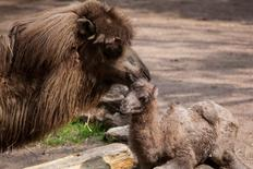 Bactrian camel named Alexander Camelton is seen with his mother at the Lincoln Park Zoo in Chicago, Illinois, U.S. May 18, 2016.  Christopher Bijalba/Lincoln Park Zoo/Handout via Reuters