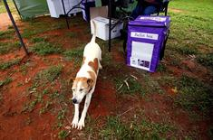 A dog stretches next to a ballot box in the remote voting station in the western New South Wales outback town of Enngonia, Australia, June 22, 2016.    REUTERS/David Gray