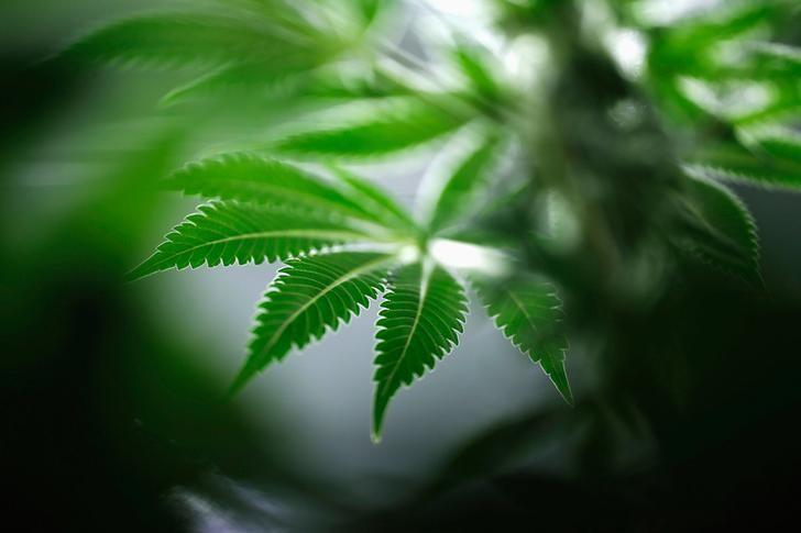 A marijuana plant is seen at Tweed Marijuana Inc in Smith's Falls, Ontario, Canada March 19, 2014.   REUTERS/Blair Gable/File Photo