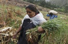 En la imagen, una mujer cosecha cebada mientras un hombre lleva una bolsa de maíz en el Cuzco, Perú.11 de abril, 2016. El Gobierno peruano declaró el martes en emergencia hídrica varias zonas de producción agrícola del país debido a la ausencia de lluvias, mientras alista medidas para mitigar el impacto de la sequía como consecuencia del cambio climático. REUTERS/Janine Costa  - RTX29J37