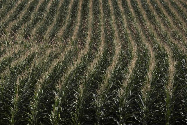 1月24日、トランプ米大統領が環太平洋連携協定(TPP)からの正式離脱に関する大統領令に署名したことに国内農業団体が反発し、アジア諸国への農産物輸出押し上げに向けた代替策を示すよう新政権に求めている。写真はアイオワ州コーン畑。2012年7月撮影(2017年 ロイター/Adress Latif)