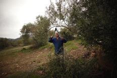 El grupo aceitero español Deoleo anunció el jueves un nuevo recorte de plantilla tan solo tres meses después de llevar a cabo un Expediente de Regulación de Empleo (ERE). En la imagen, un hombre corta la rama de un olivo cerca de Ronda, 9 de abril de 2014. REUTERS/Jon Nazca