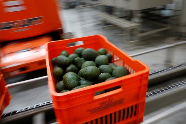 Avocados are pictured in a crate in the Global Fruit Packing Company in Uruapan, in Michoacan state, Mexico, January 31, 2017. Picture taken January 31, 2017. REUTERS/Carlos Jasso