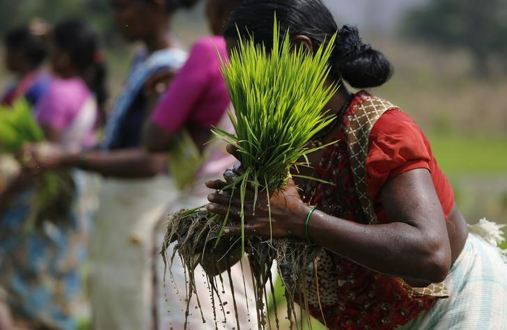 A laborer ties a bundle of rice saplings as others plant them in another field in Karjat, March 1, 2016. REUTERS/Danish Siddiqui/Files