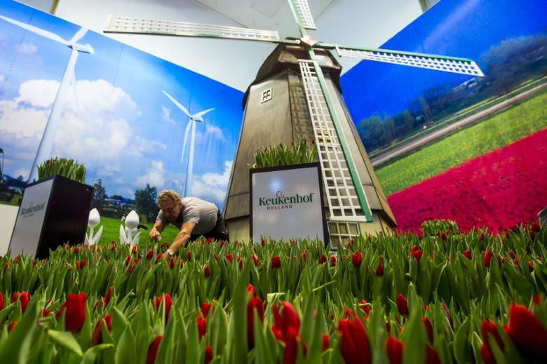 A man arranges tulips at the Dutch pavilion during preparations for the Green Week international food, agriculture and horticulture fair in Berlin, January 16, 2014.    REUTERS/Thomas Peter
