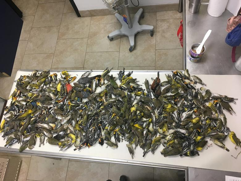 Some of the nearly 400 dead birds which crashed into the American National Building are shown in Galveston, Texas, U.S.  May 4, 2017.    Josh Henderson/Courtesy Galveston Animal Services Unit/Handout via REUTERS