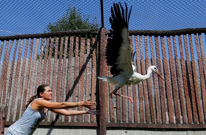 An assistant sets free an injured stork, which received a prosthetic leg, at a hospital for wild birds in Hortobagy National Park, Hungary June 27, 2017. Laszlo Balogh