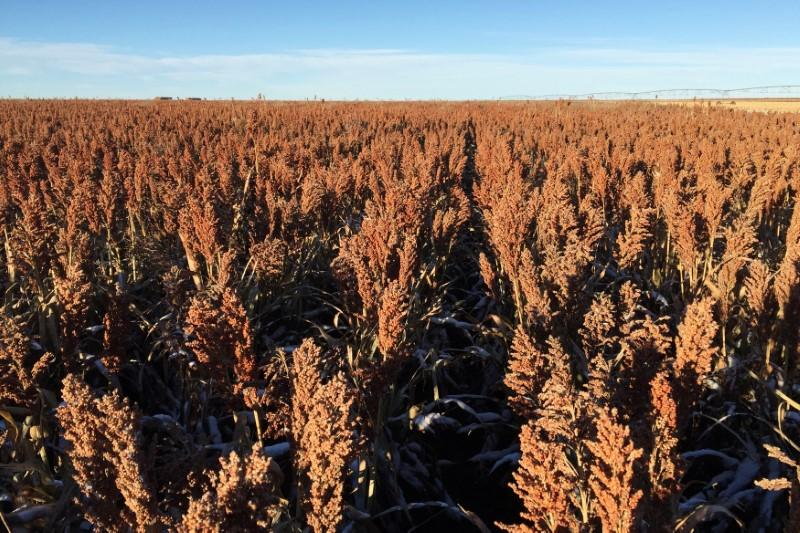 A field of sorghum (milo) grain is seen at a farm outside of Texhoma, Oklahoma, U.S., in this undated photo released to Reuters on April 3, 2018.       Courtesy Jerod McDaniel/Handout via