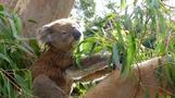 Eucalyptus study could be key to koala survival, says researcher