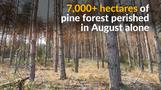 Bark beetle poses serious threat to Bulgaria's pine forests