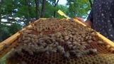 Refugee bees make themselves at home at the UN