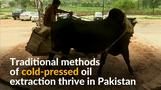 Animal-driven cold-pressed oil still thriving in Pakistan