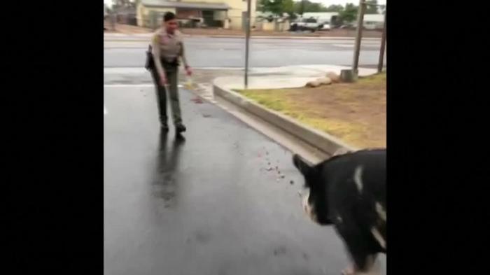 米カリフォルニア州で巨大なブタが脱走、警察が捕獲に「秘密兵器」投入(19日)