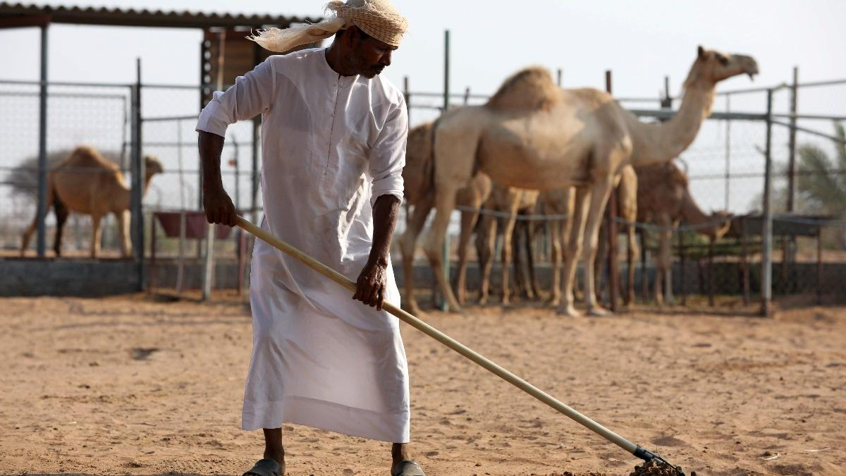 Camel dung fuels cement production in UAE