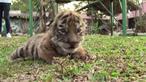ベンガルトラの赤ちゃん「コビッド」誕生、メキシコの動物園に希望(字幕・27日)