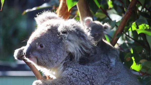 コアラの姉妹が初のご対面!豪シドニーの動物園(字幕・3日)